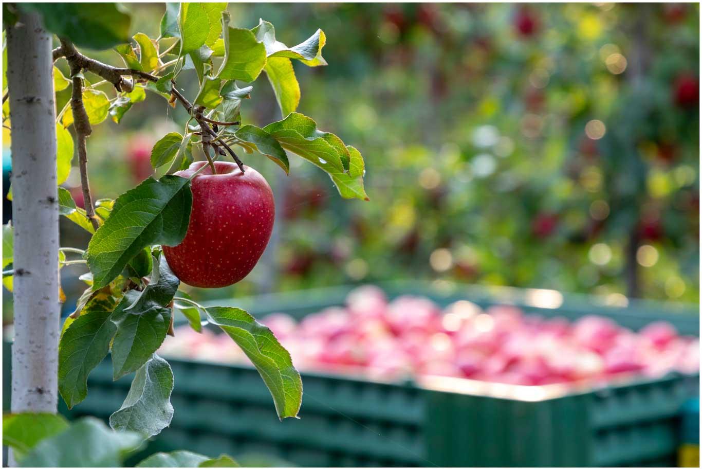 Roter Apfel an einem Apfelbaum, im Hintergrund ein Anhänger voller Äpfel